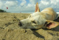 Portrait of young happy and sweet white dog playing alone in the beach lying relaxed on sand under a blue sky. Close up portrait of young happy and sweet white stock photography