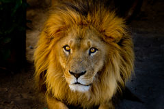 Close-up portrait of a young lion Stock Photography