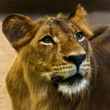 Close-up portrait of a young lion Royalty Free Stock Photos