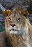 Close up portrait of young male African lion Royalty Free Stock Image