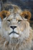 Close up portrait of young male African lion Stock Image