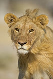 Close-up portrait of young male lion Royalty Free Stock Images