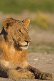 Close-up portrait of young male lion. Panthera leo royalty free stock photos