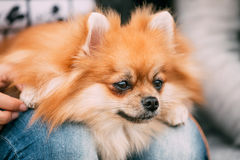 Close up portrait of young Red Pomeranian Spitz Stock Photos