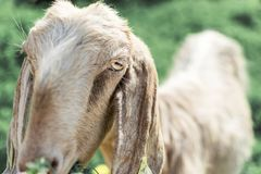 Close-up portrait of a young white goat looking at the camera. Anglo-Nubian breed of domestic goat stock photography