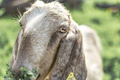 Close-up portrait of a young white goat looking at the camera and eating grass. Front view. Anglo-Nubian breed of domestic goat stock photo
