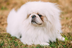 Close up portrait of young White Pekingese Stock Images