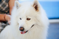 Close up portrait of young white samoyed dog. Stock Images
