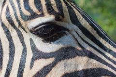Close-up portrait of a zebra Stock Photos