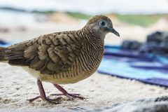 Close-up portrait of a zebra dove bird at anse lazio, praslin, s. Close-up portrait of a zebra dove bird at the beach of anse lazio, praslin, seychelles Royalty Free Stock Images