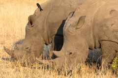 Close-up portraits of pair of white rhinoceros, Cerototherium simium, in African landscape in late afternoon sun. In South Africa stock image