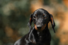 Close up portrate of black dachshund Stock Images