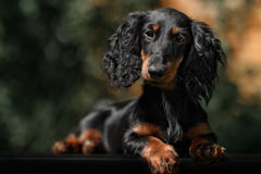Close up portrate of black longhear dachshund Royalty Free Stock Photo