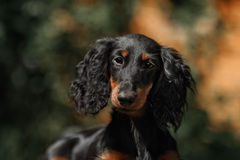 Close up portrate of black longhear dachshund Stock Photo