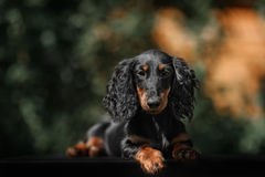 Close up portrate of black longhear dachshund Stock Images