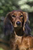 Close up portrate of red Dachshund Stock Images