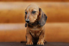 Close up portrate of red dachshund Stock Image