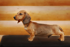 Close up portrate of red dachshund Royalty Free Stock Image
