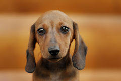 Close up portrate of red dachshund Royalty Free Stock Images
