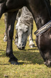 Close up portret of white pony in New Forest National Park Stock Photography