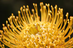 Close up in Portuguese gardens flowers Pro tea Pin Cushion. Stock Photography