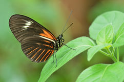 Postman Butterfly. Close-up of a Postman butterfly perched in leaves royalty free stock photography