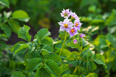 Close up of a potato field. Flowering potatoes on the field Stock Photos