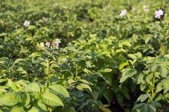 Close up of a potato field, selective focus. Selective focus Stock Photo