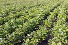 Close up of a potato field, selective focus. Selective focus Royalty Free Stock Photo