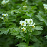 Close up of potato plant flowers Stock Image