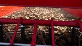 Close-up, potato tubers move on special machine tape ,a special tractor digs up potatoes and pours it into the back of a