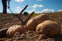 Close up of potatoes and garden fork on the field. Fresh harvested potatoes and garden fork on the field, dirt after harvest at organic family farm. Workers work royalty free stock image