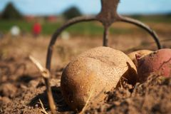 Close up of potatoes and garden fork on the field. Fresh harvested potatoes and garden fork on the field, dirt after harvest at organic family farm. Workers work stock photography