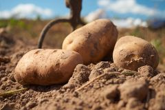 Close up of potatoes and garden fork on the field. Fresh harvested potatoes and garden fork on the field, dirt after harvest at organic family farm. Workers work stock photo