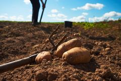 Close up of potatoes and garden fork on the field. Fresh harvested potatoes and garden fork on the field, dirt after harvest at organic family farm. Workers work royalty free stock photography