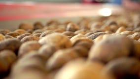 Close-up, Potatoes move on special conveyor machinery belt . potato harvesting, crop