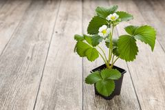Close up of potted blooming strawberry plants on wooden background. Royalty Free Stock Photo