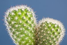 Close up of a potted cactus plant with sharp thorns stock image