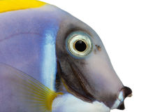 Close-up of a Powder blue tang profile, Acanthurus leucosternon Royalty Free Stock Image