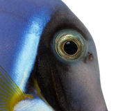 Close-up of a Powder blue tang's head, Acanthurus leucosternon Stock Photography