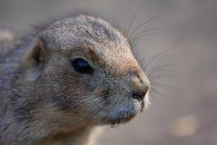 Close-up prairidog. A photo of a priari dog royalty free stock photo