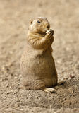 Close up of a Prairie Dog Stock Image