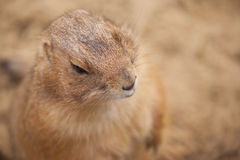 Close up of a Prairie dog / Cynomys Stock Photos