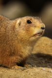 Close up of a Prairie dog showing its teeth Stock Photography