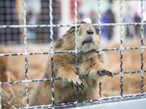 Close-up prairie dog standing behide a cage stock images