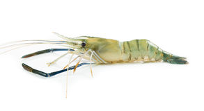 Close up prawn or raw shrimp isolated Royalty Free Stock Images