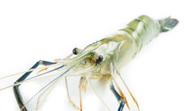 Close up prawn or raw shrimp isolated Royalty Free Stock Image