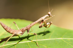 Close up of praying mantis insect Royalty Free Stock Photos