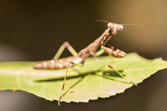 Close up of praying mantis insect Stock Photo