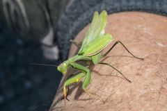 Praying Mantis. Close up of a praying mantis walking on a men leg Royalty Free Stock Photos